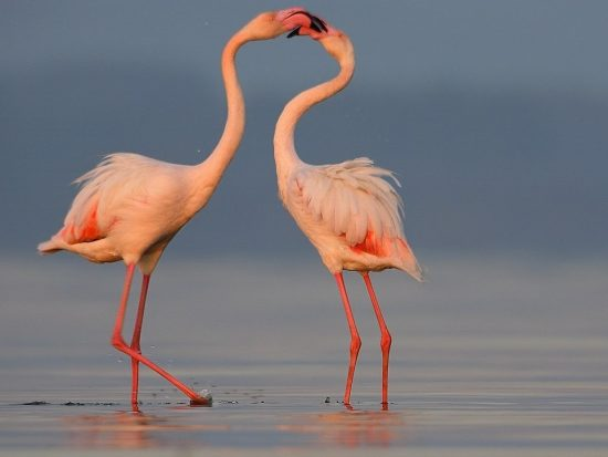 Flamingos of Natron
