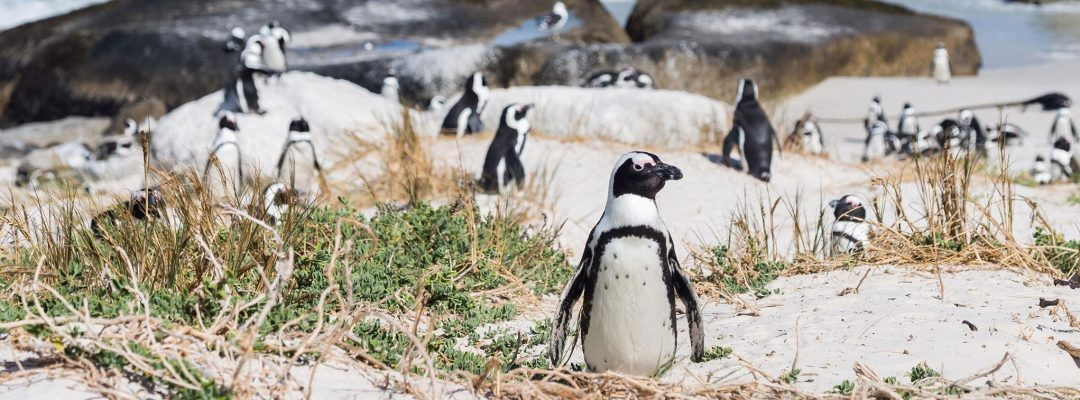 boulders-beach-penguins-cape-town-south-africa (2)