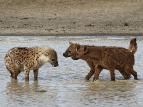 hyanenas in pool