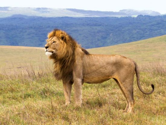 lion-Ngorongoro-Conservation-Area
